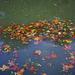 Feuilles mortes sur l'eau