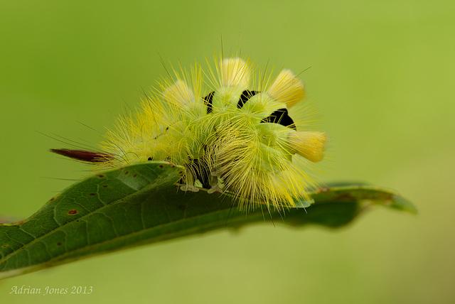 Pale Tussock Moth Caterpillar (Calliteara pudibunda)
