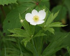 anémone du canada/canadian anemone