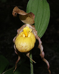 cypripède soulier/yellow lady's slipper