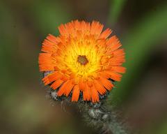 epervière orangée/orange hawkweed