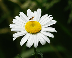 marguerite/ox-eye daisy