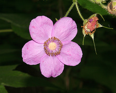 ronce odorante/purple-flowering rasberry