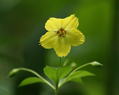 lysimaque cilié/fringed loosestrife