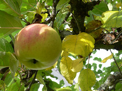 Apfel am Baum