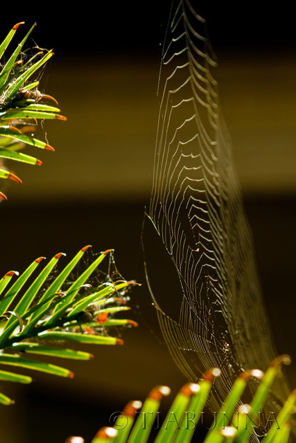 The web on the Wollemi