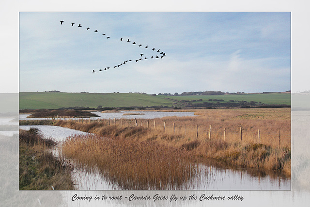 Canada Geese flying up the Cuckmere - 3.2.2014