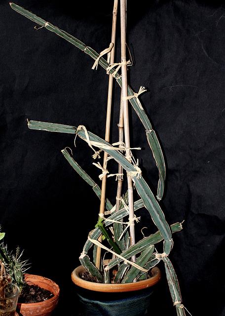 Cissus quadrangularis