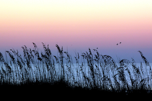 Sea oats, sunrise