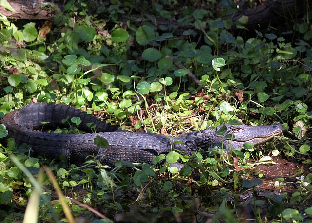 Alligator, Hilton Head