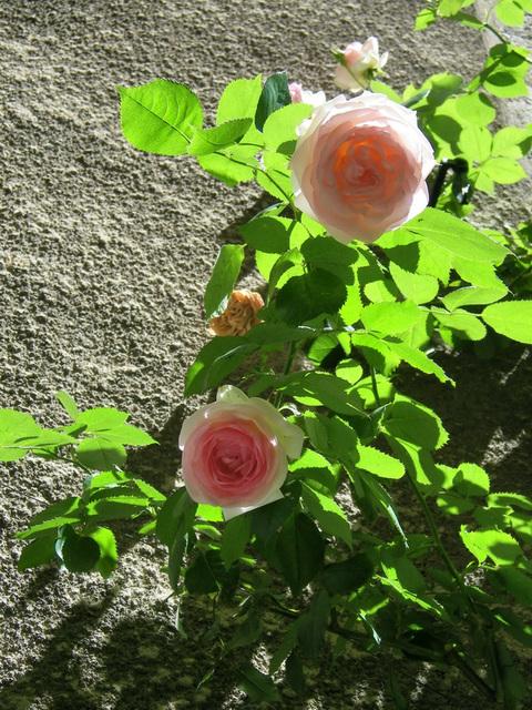 Des roses lumineuses