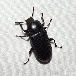 Hypaulax species (Darkling Beetle)