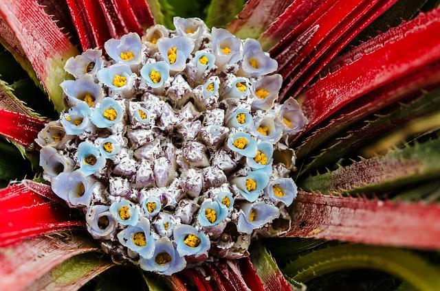 Fascicularia bicolor 0004