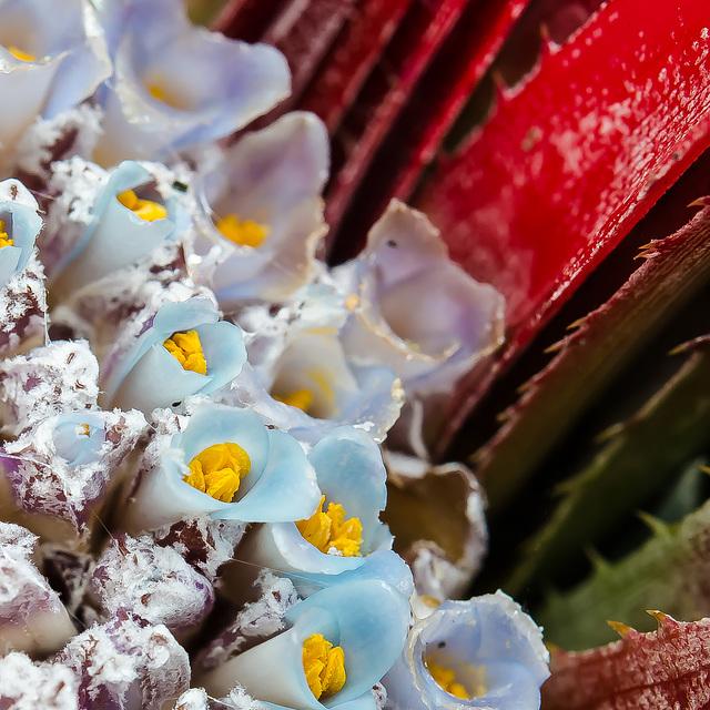 Fascicularia bicolor 0008
