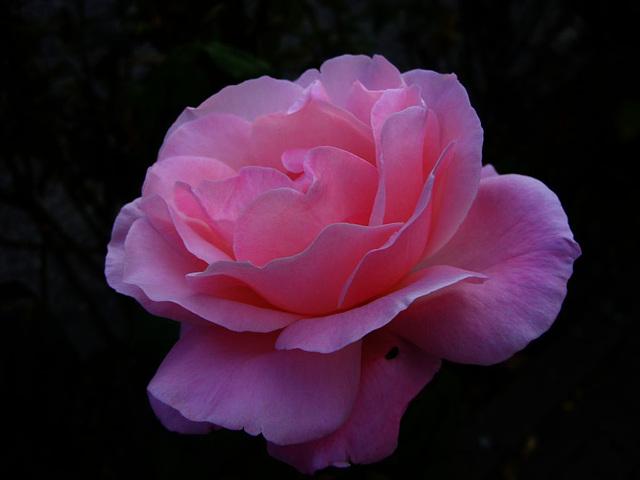 die letzten Rosen im September
