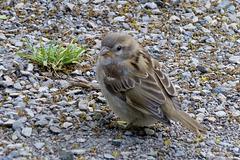 Leipzig 2013 – Sparrow
