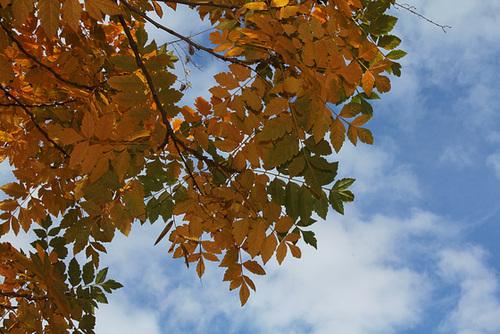 Savonnier en automne