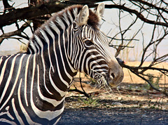 Zebra with a mouth full of hay