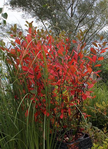Aronia arbutifolia 'Brilliant C '