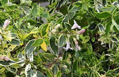 Abelia x grandiflora ' Hopleys