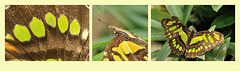 Schmetterlingsgrün - butterflygreen