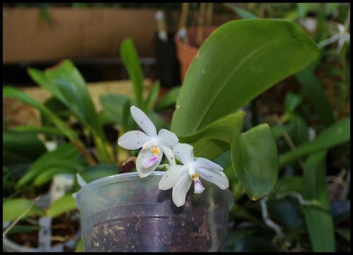 Phalaenopsis micholitzii x tetraspis