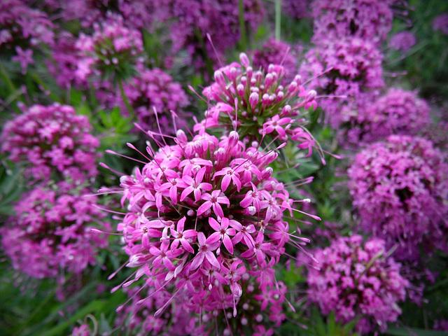 pink explotion - Phuopsis stylosa