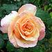 una rosa sotto la pioggia