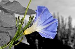 ARC ET SENANS: Une fleur de liseron ( Convolvulus ). 02