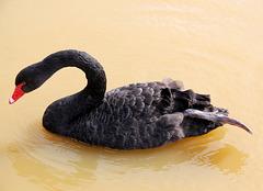 Cygne noir (Parc des oiseaux de Villars les Dombes, Ain, France)