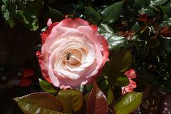 Alte Rosensorte - maljuna rozspeco