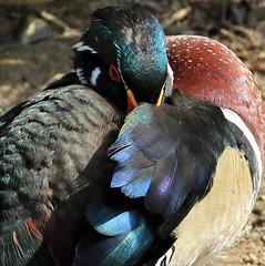 Arrondi multicolore (canard) (Parc des oiseaux de Villars les Dombes, Ain, France)