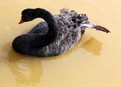Cygne noir (Australie) (Parc des oiseaux de Villars les Dombes, Ain, France)
