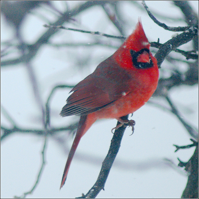On Days Like Today It's Hard to Resist Posting Cardinal Photographs