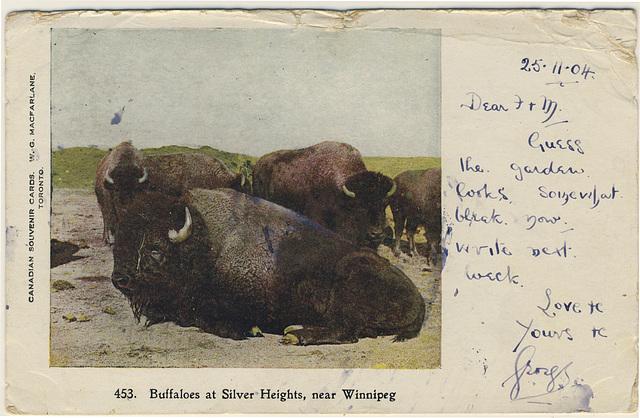 Buffaloes at Silver Heights, near Winnipeg