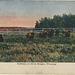 Buffaloes, at Silver Heights, Winnipeg