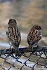 Joli plumage de simples moineaux dans le zoo de Berlin (Allemagne)