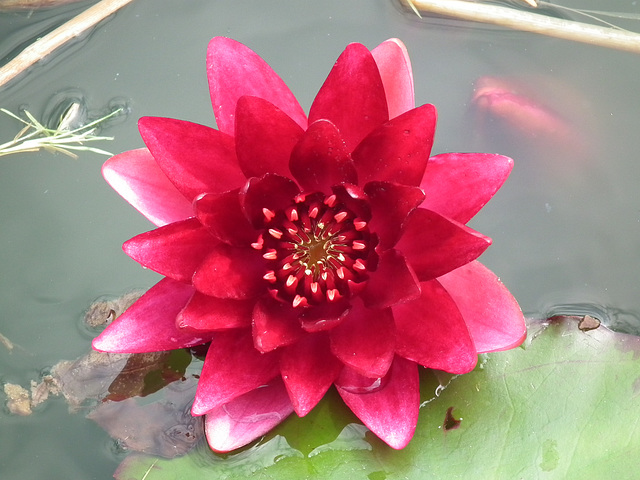 Lovely red waterlily