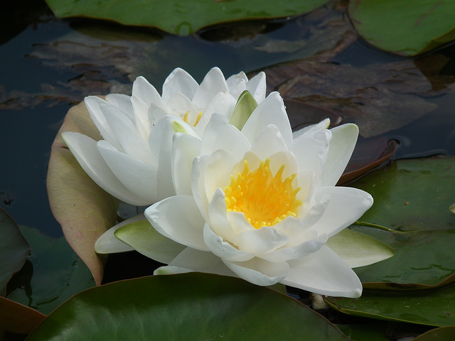 Fab white waterlily