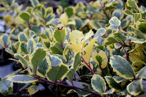 Ilex aquifolium Golden King