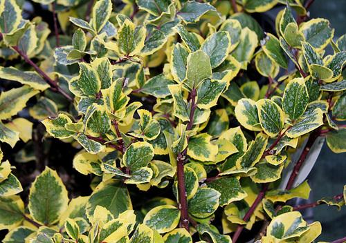 Ilex aquifolium Golden King (2)