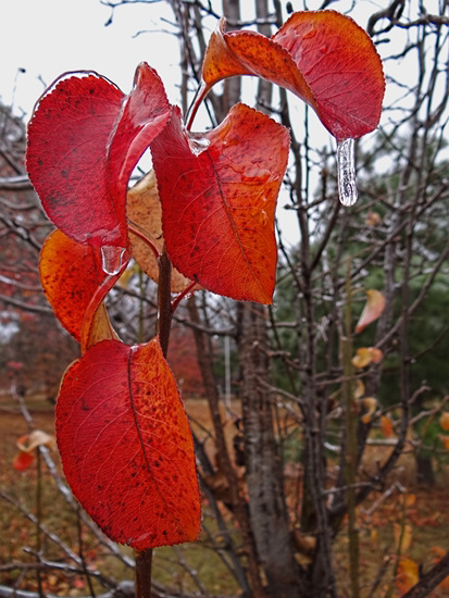 Icing 23-11-13 on Bradford Pear leaves