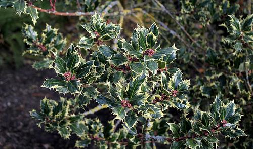 Ilex aquifolium mâle variegata (2)
