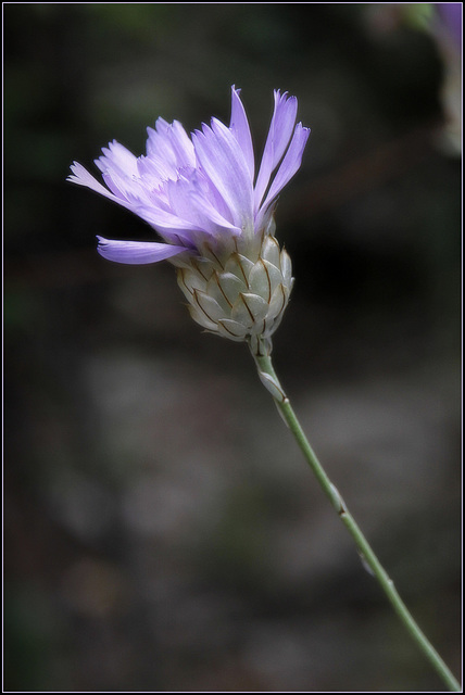 Catananche caerulea - catananche bleue  34640105.68db7d73.640