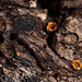 """Seeing Stars: Cannonball Fungus After the """"Cannonballs"""" Have Been Hurled!!!"""