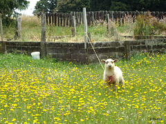 Lamb in dandelions