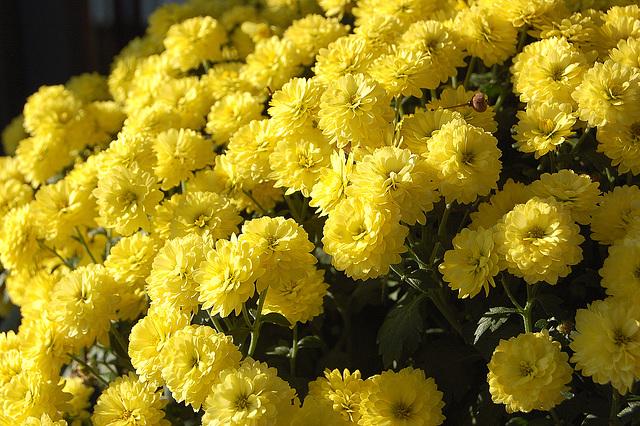flavaj floroj (Gelbe Blumen)