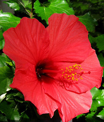 """Hibiscus """"Pink Versicolor"""" by My Lovely Wife (Explored)"""