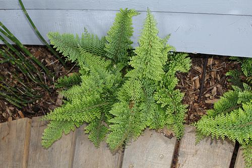 Parcours initiatique- Polystichum setiferum plumosum