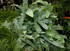 Phlebodium aureum - Polypode doré